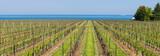 Vineyard in Niagara on Lake Ontario