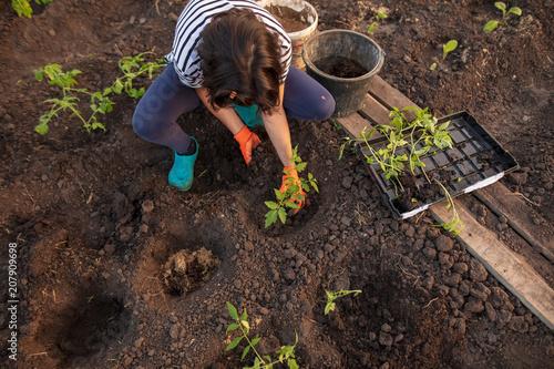Planting seedlings in the garden