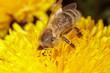 Bee on a yellow dandelion flower