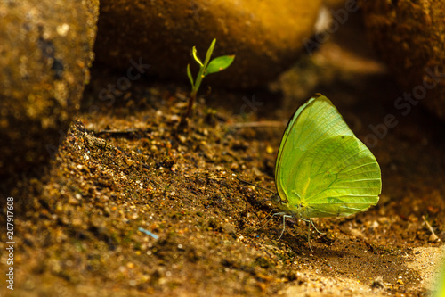 Fotobehang Vlinder Sulphur Butterfly basking on soil and feeding for minerals and nutrients.