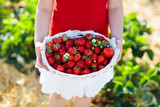 Kids pick strawberry on berry field in summer - 207919667