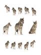 Leinwanddruck Bild - gray wolf