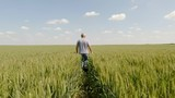 Rear view senior farmer walking in young wheat field and examining crop.	 - 207923600