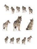 gray wolf - 207923656