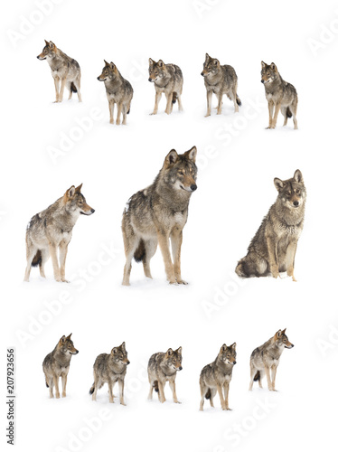 Fototapeta gray wolf