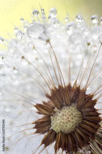 Fluffy dandelion - 207925441