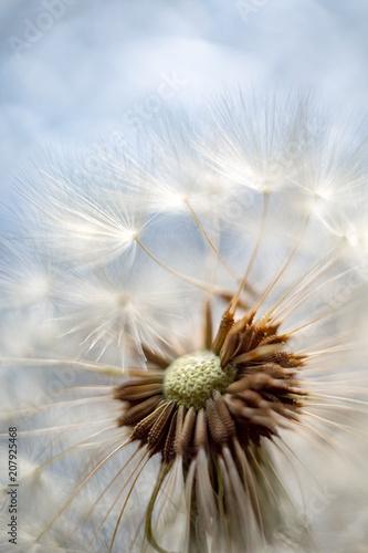 Canvas Paardenbloemen Fluffy dandelion