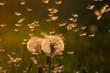 Dandelions in grass in the sunlight