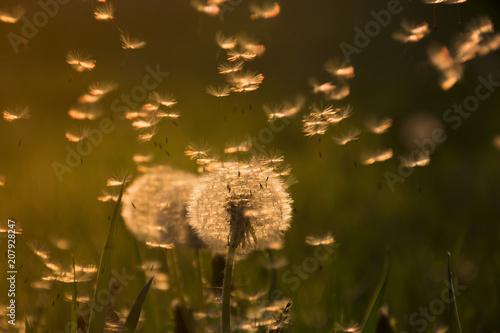 Dandelions in grass in the sunlight - 207928247