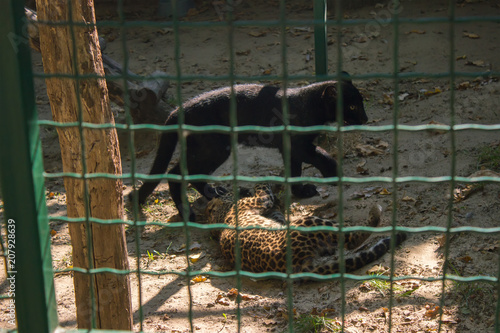 Aluminium Panter leopard and black panther are playing