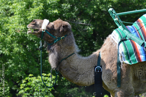 Canvas Kameel Camel waiting to give rides