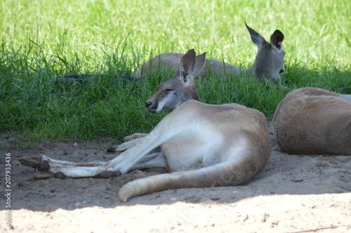 Aluminium Kangoeroe Kangaroo laying in the shade