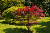 Acero giapponese in giardino in primavera - 207937017