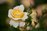 Phote of an yellow colored rose - 207946068