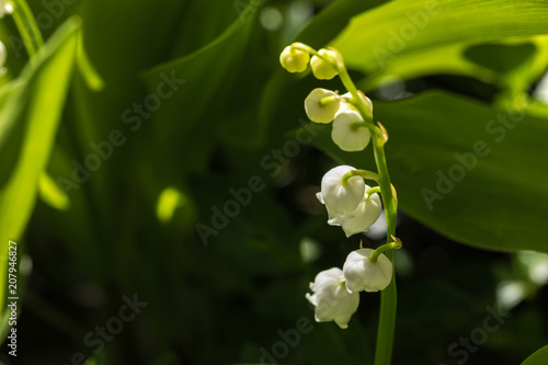 Fotobehang Lelietjes van dalen Lily of the valley is the smell of spring.