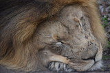 Beautiful portrait of a big  brown sleeping lion in South Africa - 207949889