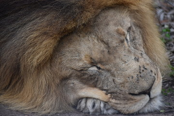 Beautiful portrait of a big brown sleeping lion in South Africa