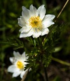Anémone des Alpes dans l'Iseran, Savoie, France - 207955831
