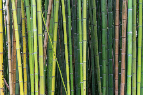 Fotobehang Bamboe Bamboo in different shades of green and brown growing naturally in different angles instead of parallel lines.
