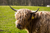 A close up of a brown highland cow - 207969267