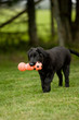 Black adorable puppy playing outside on the grass  with a toy