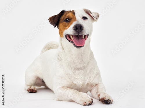 Foto Murales jack russell terrier dog looking at white background