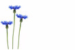 Leinwanddruck Bild - Wild flower cornflower