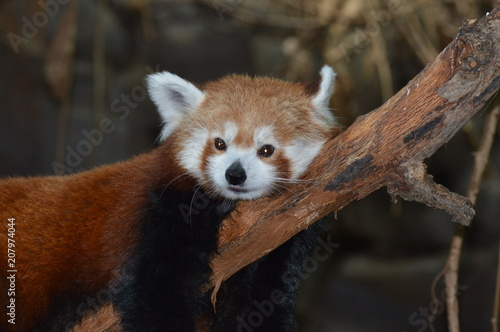 Fotobehang Panda A red panda