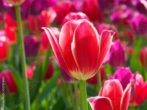 Fotobehang Tulpen Photo of tulips in the sun