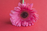 Pink gerbera flower on red background close up