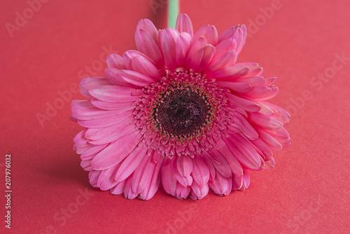 Fotobehang Gerbera Pink gerbera flower on red background close up