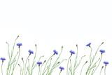 Wild flower cornflower