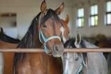 Fototapeta Horses - Grupa koni czystej krwi arabskiej w wejściu do stajni, spogląda z zaciekawieniem przez barierkę wprost w obiektyw, kasztan wyraźny, siwy i drugi brązowy nieostre, w tle rozmyte wnętrze stajni © Wioletta