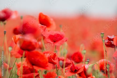 Fotobehang Koraal Field of red poppies