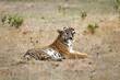 Tiger yawning in Bandhavgarh National Park in India