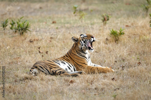 Aluminium Tijger Tiger yawning in Bandhavgarh National Park in India