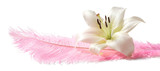 White lily on Pink Feather - huge pink feather isolated on white background with a white lily head laid on top