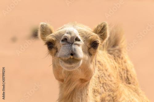 Fotobehang Kameel Camel head close up