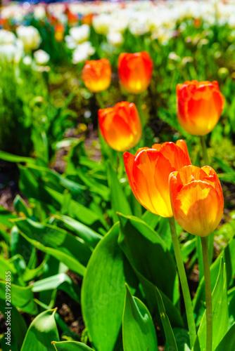 Fotobehang Tulpen Garden with many orange tulips