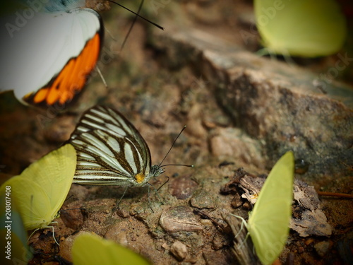 Fotobehang Vlinder yellow and chocolate(brown) pattern wing with antenna Butterfly perched on ground