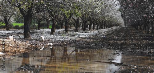 Foto Murales blooming garden with fruit trees