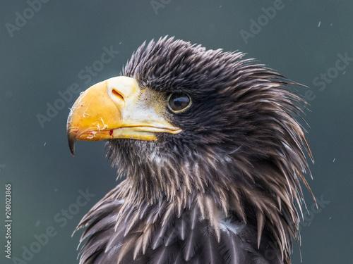 Canvas Eagle Sea eagle (Haliaeetus albicilla) American