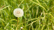dandelion flower on green grass - 208031202