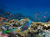 Daisy parrotfish - 208032429