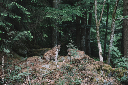 Poster Lynx family at Bayerischer Wald national park, Germany. Dark forest after sunset.