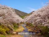 玉水川の桜並木