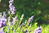 Lavendel im Garten - Sommerblumen - 208046840
