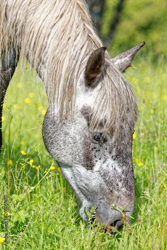 Fotobehang Paarden Cheval gris