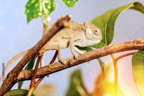 Fotobehang Kameleon Beautiful chameleon hidden in the woods