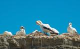 The Australian gannet birds colony at Cape Kidnappers in Hawke's Bay region of New Zealand. - 208055212